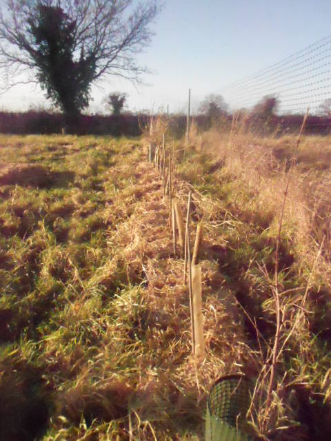 Native hedge mulched